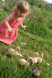 Little girl playing with baby ducks. Little girl playing with ducklings on grass royalty free stock photo