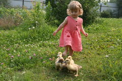 Little girl playing with baby ducks. Little girl playing with ducklings on grass stock photos