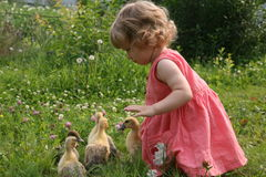 Little girl playing with baby ducks. Little girl playing with ducklings on grass royalty free stock photography