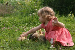 Little girl playing with ducklings. Little girl playing with baby ducks on grass stock image