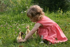 Little girl playing with ducklings. Little girl playing with baby ducks on grass stock photos