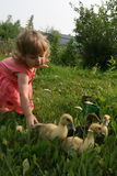 Little girl playing with ducklings. Little girl playing with baby ducks on grass royalty free stock photography