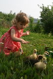 Little girl playing with ducklings. Little girl playing with baby ducks on grass royalty free stock images