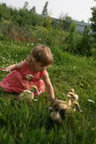 Little girl playing with ducklings. Little girl playing with baby ducks on grass stock photography