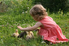 Little girl playing with ducklings. Little girl playing with baby ducks on grass royalty free stock photo