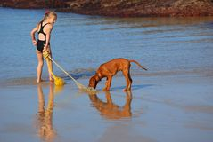 Beach fun with dog. A little preteen Caucasian girl child playing with her cute purebred Rhodesian Ridgeback hound dog puppy on the beach in summertime Royalty Free Stock Images