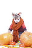 Little girl plays with big pumpkins Stock Photos