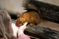 Little girl plays with the squirrel Stock Photography