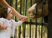 Little girl and pony. 3 year old girl and small pony Royalty Free Stock Images