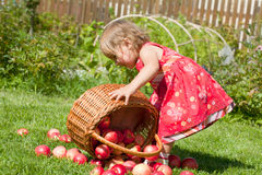 Little girl pours out red apples Stock Photos