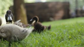 Little girl puts a duckling on a grass and lets it join its mother and other ducklings. Mother mallard Duck and ducklings on a green grass in a park. Close-up stock video footage