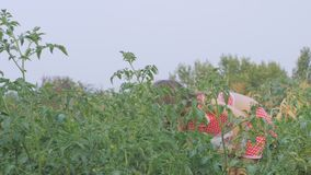 Little beautiful girl collects tomatoes in the garden stock video footage