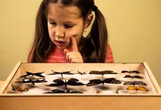 Little Girl Researching Entomology Collection of Tropical Butterflies. Ttle Girl researching Entomology Collection of Tropical Butterflies. Study Theme royalty free stock photos