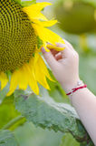 Little girl's hand picking petal from sunflower. Little girl's hand picking one petal from sunflower Royalty Free Stock Image