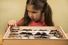 Little Girl Scrutinizes Entomology Collection of Tropical Butterflies. Study Theme royalty free stock photography