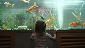 A little girl looks at the fish swimming in the aquarium with curiosity. A little girl standing at a large aquarium with curiosity considering floating fish stock footage