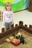 Little girl is standing near guinea pigs. Kid in contact zoo royalty free stock photo