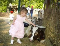 Little girl stroking a calf stock image