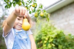 Little girl taking ripe pears at the garden, organic fruits.  stock photo