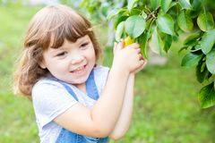 Little girl taking ripe pears at the garden, organic fruits.  royalty free stock images
