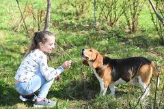 Little girl train dog on summer nature. Child play with pet friend on sunny day. Kid with beagle on fresh air outdoor. Childhood a. Nd friendship. Training dogs Royalty Free Stock Photography