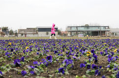 A little girl walking through the flower field. Chinese Sichuan, a little girl alone through the pansy flower field Royalty Free Stock Photo