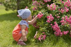 Little girl in walking in the garden, sniffing pink roses. stock image