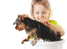 Little girl wash Yorkshire Terrier Royalty Free Stock Photography