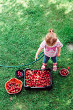 Little girl washing strawberries Royalty Free Stock Images