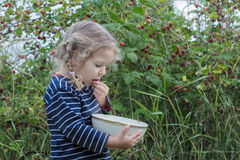 Little girl wearing blue striped long sleeved t-shirt putting ripe garden raspberries in her mouth Royalty Free Stock Photo