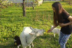 Little girl and white domestic goat with little goats in the meadow on a sunny day in summer close-up stock photography