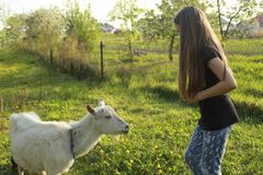 Little girl and white domestic goat in a meadow on a sunny day in summer close-up stock images