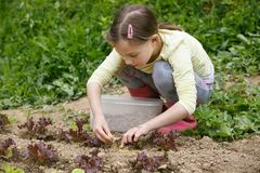 Little girl working in the garden. Putting mulch among salad seedlings, gardening. Education for life, home fun, natural childhood, outdoor living and simple royalty free stock photos