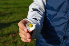 Little girls hand handing a daisy to someone royalty free stock images