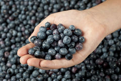Little Girl's Hand holding Fresh Blueberries Royalty Free Stock Photography