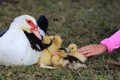 Petting Ducklings Royalty Free Stock Photography