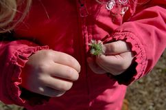 Little girls hands holding a dandelion weed Royalty Free Stock Photography