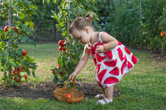 Little girls picked tomatoes stock image