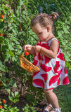 Little girls picked tomatoes Royalty Free Stock Photo