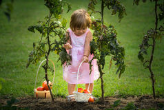 Little girls picked tomatoes royalty free stock photography