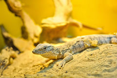 Little goanna Royalty Free Stock Photos