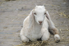 Little goat Stock Images