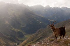 The little goat. Stands before the abyss stock photo