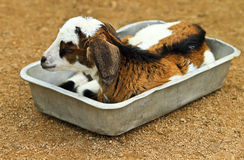 Little goat. Resting in the tray of food Stock Image