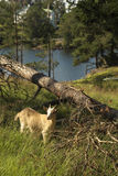 The little goat. The little goat near a fallen tree. Ladoga. Island Valaam Royalty Free Stock Photography
