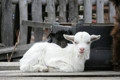 little goat  Royalty Free Stock Photo