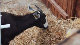 Little goat eats hay near wooden fence at fest