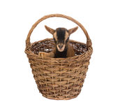 Little goat in basket Royalty Free Stock Photo
