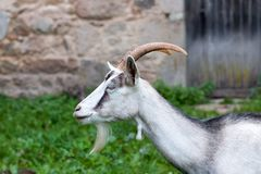 Perfect profile of a little goat, Loire, France stock image