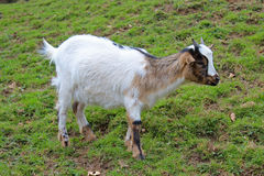 Little goat Royalty Free Stock Photos